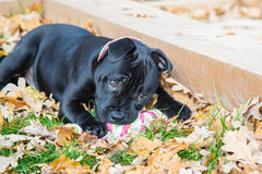 Staffordshire Bull Terrier Puppy lying on grass and leaves. Royalty Free Stock Images