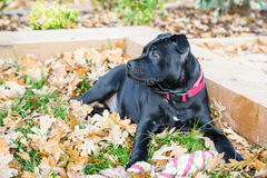 Staffordshire Bull Terrier Puppy lying on grass and leaves. Royalty Free Stock Photography