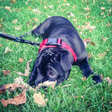 Staffordshire Bull Terrier Puppy lying on grass. Stock Photos
