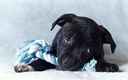 A Staffordshire Bull Terrier Puppy Royalty Free Stock Images