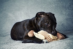 A Staffordshire Bull Terrier Puppy Stock Photos