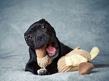 A Staffordshire Bull Terrier Puppy Royalty Free Stock Photos
