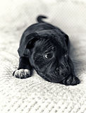 A Staffordshire Bull Terrier Puppy Stock Image