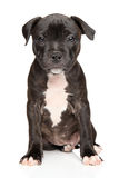 Staffordshire bull terrier puppy. Portrait of Staffordshire bull terrier puppy on white background Royalty Free Stock Image