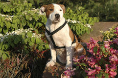 Staffordshire Bull Terrier puppy. A Staffordshire Bull Terrier puppy sitting in flowers Stock Images