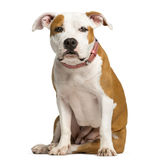 Staffordshire Bull Terrier puppy sitting Stock Photo