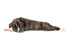Staffordshire bull terrier puppy Stock Photography