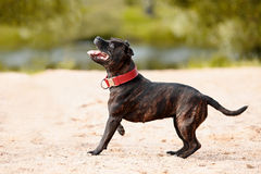 Staffordshire bull terrier. Bull terrier in a red collar. Active dog. Doggie on walk Stock Image