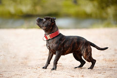 Staffordshire bull terrier. Royalty Free Stock Image