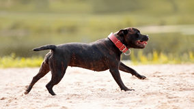 Staffordshire bull terrier. Stock Photography