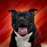 Staffordshire Bull Terrier. On red-yellow background Stock Photos