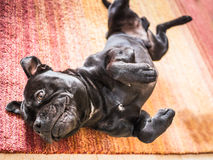 Staffordshire Bull Terrier rolling on his back on a rug Royalty Free Stock Images