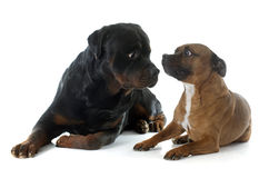 Staffordshire bull terrier and rottweiler Stock Photos