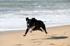 Staffordshire bull terrier running royalty free stock photos