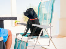Staffordshire Bull terrier sammanträde på en deckchair gillar en människa Royaltyfri Bild