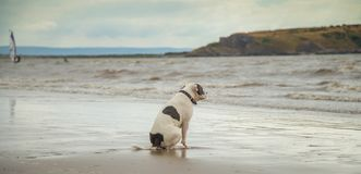 Staffordshire Bull Terrier on the sea. The Staffordshire Bull Terrier is a medium-sized, short-coated breed of dog of English lineage and may be considered to be stock image