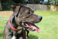 Staffordshire bull terrier side profile Stock Photography