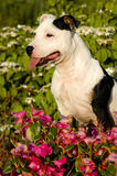 Staffordshire Bull Terrier. A Staffordshire Bull Terrier sitting in flowers Royalty Free Stock Photography