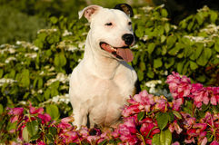 Staffordshire Bull Terrier. A Staffordshire Bull Terrier sitting in flowers Royalty Free Stock Photo