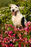 Staffordshire Bull Terrier. A Staffordshire Bull Terrier sitting in flowers Royalty Free Stock Image