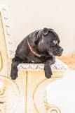 Staffordshire Bull Terrier sitting on a stone bench Stock Photos