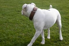 Staffordshire Bull Terrier Dog walking in park. The Staffordshire Bull Terrier is a small to medium sized, short-coated breed of terrier from England. The stock image