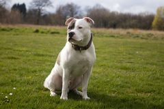 Staffordshire Bull Terrier Dog walking in park. The Staffordshire Bull Terrier is a small to medium sized, short-coated breed of terrier from England. The stock photo