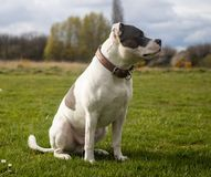 Staffordshire Bull Terrier Dog walking in park stock photo