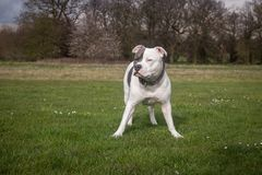 Staffordshire Bull Terrier Dog walking in park. The Staffordshire Bull Terrier is a small to medium sized, short-coated breed of terrier from England. The royalty free stock images