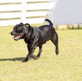 Staffordshire Bull Terrier. A small, young, beautiful, black Staffordshire Bull Terrier walking on the grass looking playful and cheerful. English Staff dogs are royalty free stock images