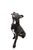Staffordshire bull terrier studio shot Royalty Free Stock Photos