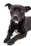 Staffordshire bull terrier studio shot Stock Photography