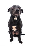 Staffordshire bull terrier studio shot Royalty Free Stock Image