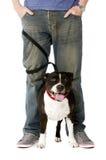 Staffordshire bull terrier su cavo Immagini Stock Libere da Diritti