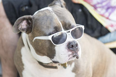 Staffordshire bull Terrier in sunglasses royalty free stock photography