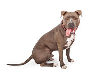 Staffordshire Bull Terrier With Tongue Hanging Out Of Mouth Stock Photography