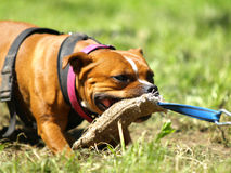 Staffordshire bull terrier. In tug of war royalty free stock photo