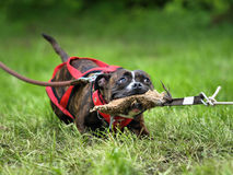 Staffordshire bull terrier. In tug of war Stock Photos