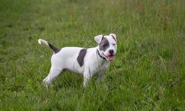 Staffordshire bull terrier valp i färg royaltyfri bild