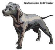 Staffordshire Bull Terrier vector illustration. Portrait of standing in profile dog Staffordshire Bull Terrier vector colorful illustration isolated on white Stock Images