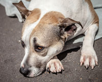 Staffordshire Bull Terrier Waiting on the Street Lying Down Stock Photo