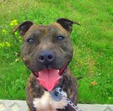 Staffordshire bull terrier. A staffordshire bull terrier after walking Stock Photos