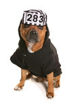 Staffordshire bull terrier wearing a prisoner hat Stock Photos