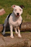 Staffordshire Bull Terrier. White and black Staffordshire Bull Terrier standing on logs royalty free stock photo