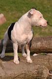 Staffordshire Bull Terrier. White and black Staffordshire Bull Terrier standing on logs Stock Photos
