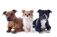 Staffordshire bull terriers and chihuahua Stock Photos