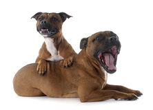 Staffordshire bull terriers Stock Images