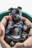 Staffordshire bullt terrier puppy sitting up in bed Stock Image