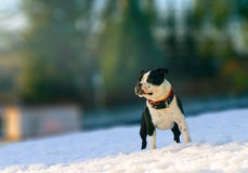 Staffordshire bullterier am sonnigen Tag des Winters Stockfotografie