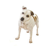 Staffordshire bullterrier Royalty Free Stock Photos